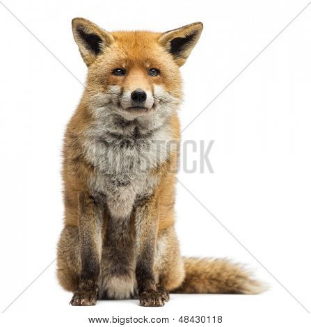 Red fox, Vulpes vulpes, sitting, isolated on white