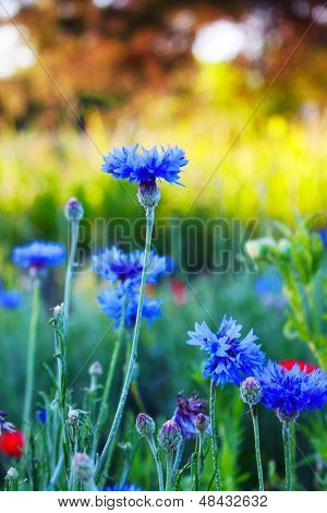Bachelor's buttons and other wild flowers at sunrise