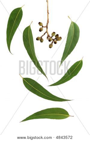 Gum Leaf Design Elements