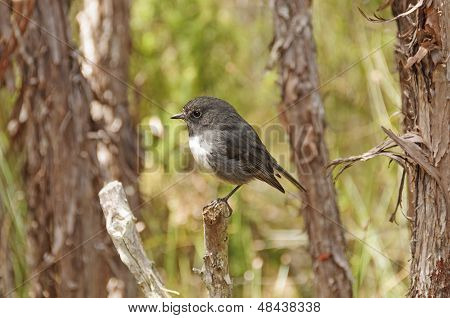 New Zealand Robin In The Wilds