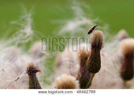 A bug is sitting on a seedy thistle