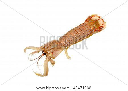 Mantis Shrimp In A White Background