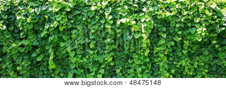 Background of ivy covered wall