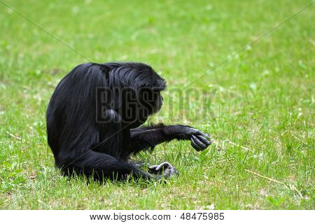 Lonely Siamang Gibbon In The Grass
