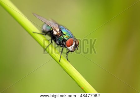 Red-headed Flies