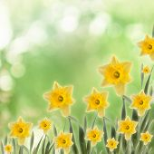 stock photo of narcissi  - Greeting card with a bouquet of daffodils on the abstract background with bokeh effect - JPG