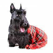 stock photo of kilt  - Scotch terrier in a red classical kilt sitting on a white background - JPG
