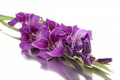 stock photo of gladiolus  - Beautiful gladiolus flower close up - JPG
