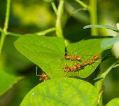 foto of fire ant  - Red ants carrying insect for their  food - JPG