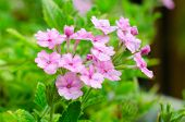 picture of scant  - Beautiful Pink verbena flower in the garden - JPG