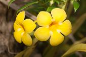 stock photo of trumpet flower  - Allamanda or golden trumpet beautiful yellow flower - JPG