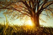 stock photo of spring-weather  - Spring tree with fresh leaves on a meadow at sunset - JPG