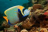 foto of coral reefs  - emperor angelfish  - JPG