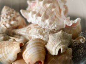 picture of taupe  - A collection of various types of seashells in soft colors of pink taupe brown umber and white; could fade and use for background.