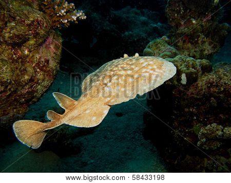 Torpedo ray
