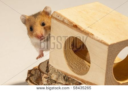 Hamster in a wooden house.