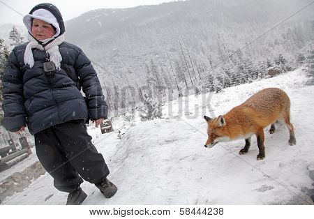 Fox In Forest At High Tatras, Slovakia