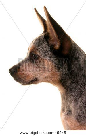 Blue Heeler Profile
