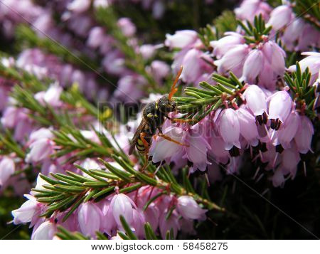 Nomad Bee On Heather