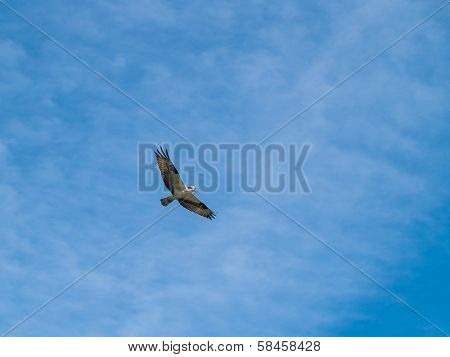 A Bird Of Prey In Flight Under Wispy Clouds And Blue Sky