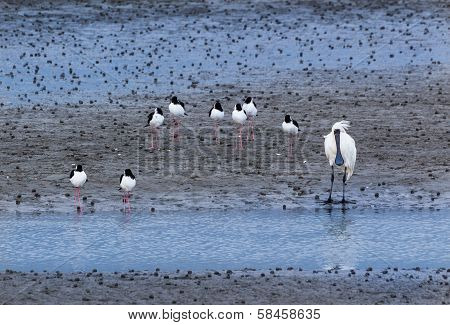 Royal Spoobill & Pied Stilt