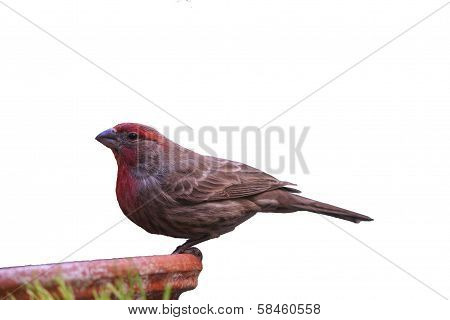 Female purple pinch in winter colors (Carpodacus purpureus)