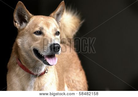 Thai Brown Dog With Red Collar