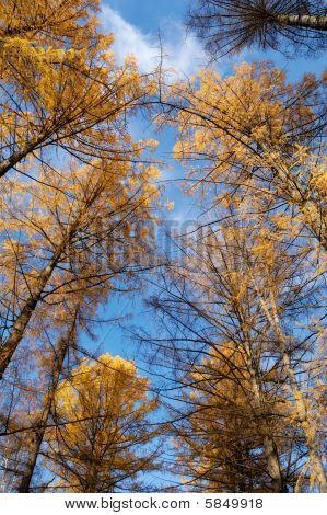 Crowns of trees and blue sky
