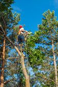 stock photo of cutting trees  - An Arborist Cutting Down a Tree Piece by Piece - JPG