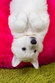 image of swiss shepherd dog  - Baby white swiss shepherd hanging upside down - JPG