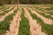 foto of cassava  - Cassava Growers plantation in countryside of Thailand - JPG