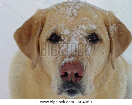 Yellow Lab In The Snow