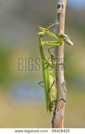 Insect Outdoor (mantis Religiosa) Eats