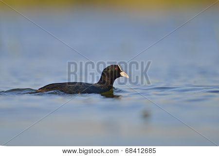 Coot On The Lake (fulica Atra)