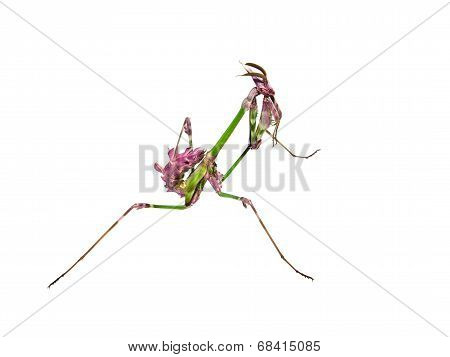 Mantis Insect With Courtship Coloration