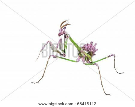 Mantis Insect Predator In Hunting Pose