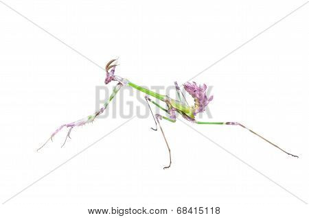 Mantis Raptor With Long Spiked Forelegs In Attack Pose