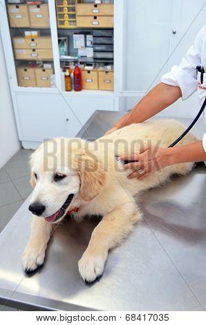 Vet checking puppy dog