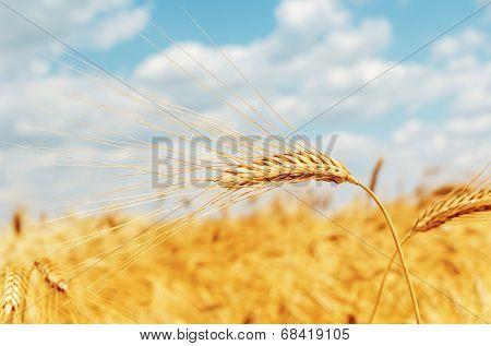 ripe ear of wheat on field