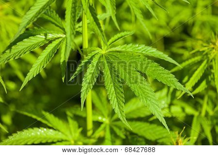 Detail of marijuana plant on field, low depth of focus