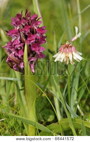 Early Marsh Orchid & White Clover