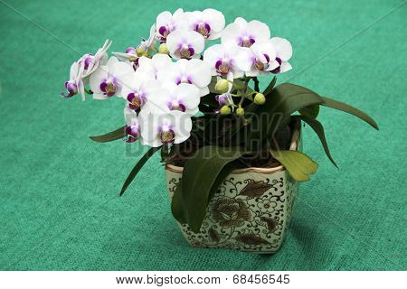 Orchids In Ceramic Pot