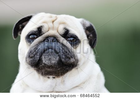 Portrait Of A Pug Outdoors
