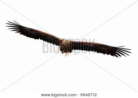 Flying Golden Eagle