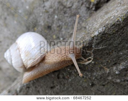 Albino snail on a wall