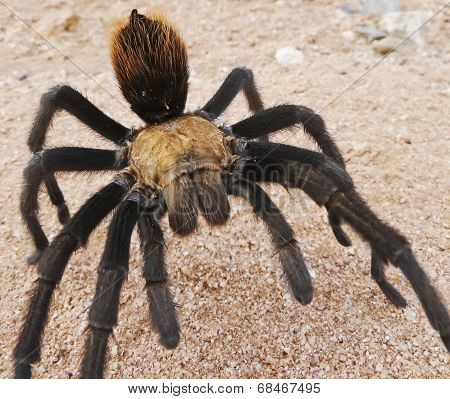 A Close Up Costa Rican, Also Known As Desert, Tarantula