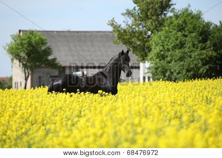 Gorgeous Black Friesian Horse In Colza Field