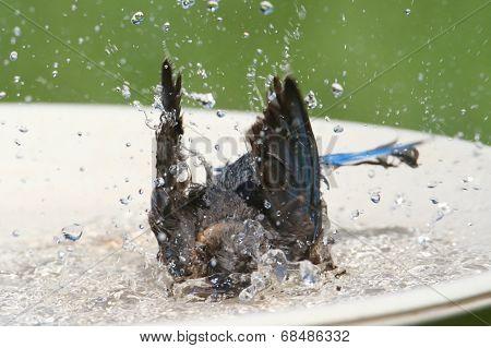 Eastern Bluebird Beating The Heat