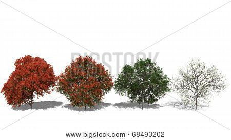 Delonix Regia (four Seasons)