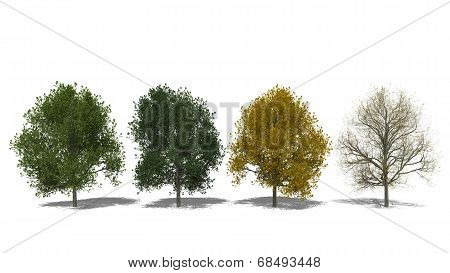 Tilia Cordata (four Seasons)